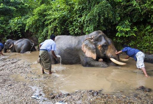 Elefantes. Reserva en un parque natural próximo a Mawleik. Los elefantes eran el medio más utilizado para transportar los troncos.